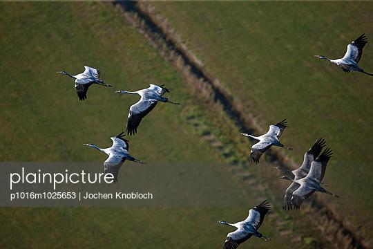 Kraniche - p1016m1025653 von Jochen Knobloch