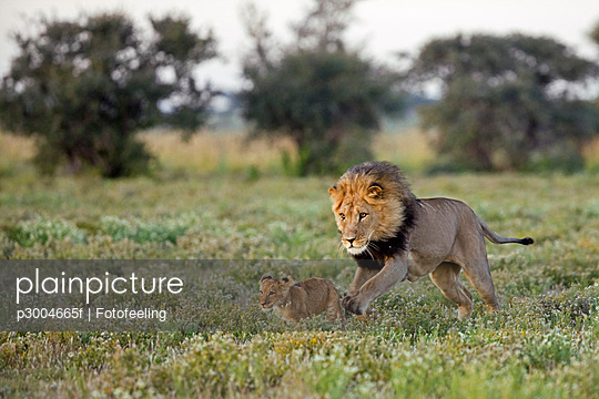 Africa, Botswana, Adult male lion (Panthera leo) and cub - p3004665f by Fotofeeling