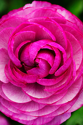 Close up of a rose flower, furled pink petals.  - p1100m1178156 by Mint Images