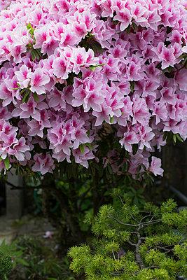 Azaleenblüte - p1134m1440660 von Pia Grimbühler