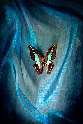 Exotischer Schmetterling auf blauem Tuch - p1248m2209178 von miguel sobreira