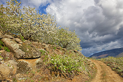 Cherry tree blossom in Jerte valley, Caceres, Extremadura, Spain - p343m1167929 by David Santiago Garcia