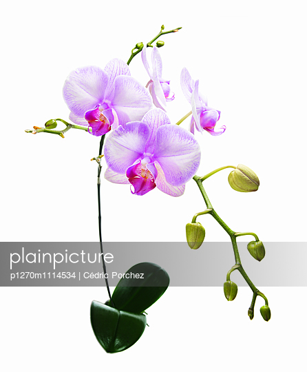Phalaenopsis flower with buds