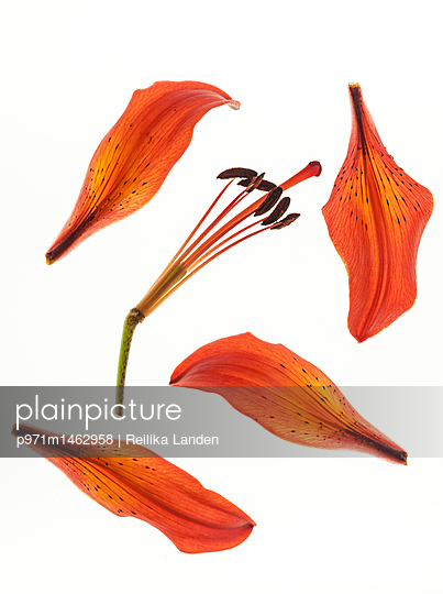 Broken lily flower - p971m1462958 by Reilika Landen
