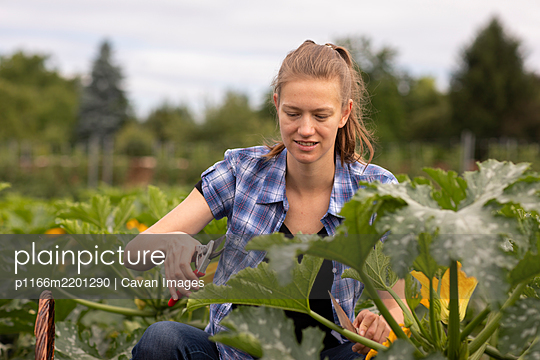 young woman working as vegetable grower or farmer in the field - p1166m2201290 by Cavan Images
