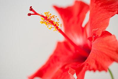 Hibiscus flower - p4950215 by Jeanene Scott