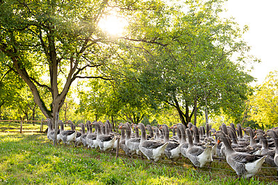 Eine Herde Gänse auf einer Wiese unter Walnussbäumen - p948m2142115 von Sibylle Pietrek