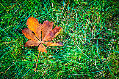 Autumn leaf on grass - p1302m2273397 by Richard Nixon