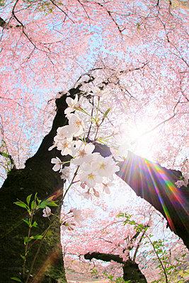 Cherry Blossoms - p307m2154210 by SHOSEI