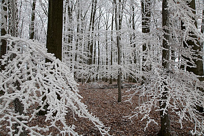 Forest in frost - p3881162 by Ulrike Leyens