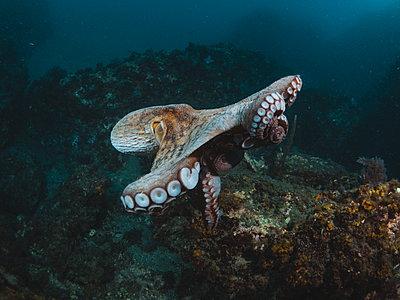 Octopus vulgaris - p1166m2130289 by Cavan Images