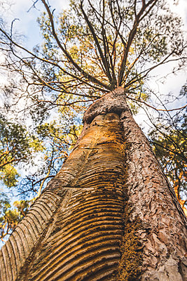 Germany, Mecklenburg-Western Pomerania, Darss, pine tree with incisions for tapping resin - p300m2080701 by Kerstin Bittner