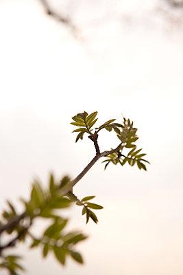 Zweig mit frischem Grün - p533m1474833 von Böhm Monika