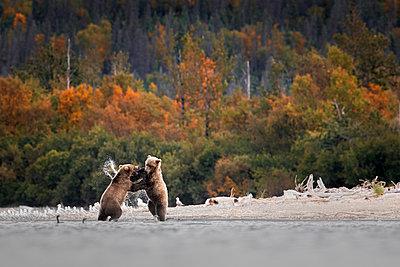 Brown bear (Ursus arctos alascensis), Brooks Lake, Katmai National Park and Preserve,  alaska peninsula, Alaska, USA - p651m2032593 by Marco Gaiotti