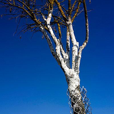 Whitewashing tree - p813m778823 by B.Jaubert