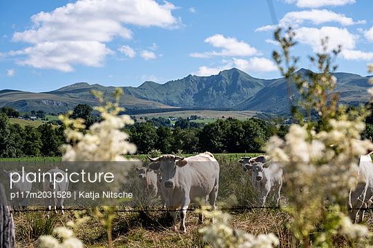 Kühe zwischen Sträuchern - p117m2031528 von Katja Nitsche