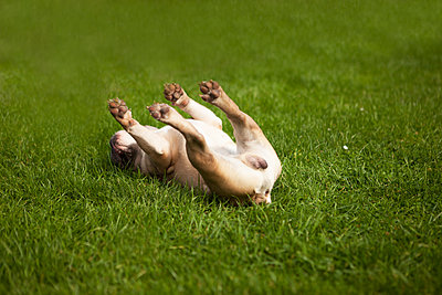 Hund wälzt sich glücklich auf Rücken - p045m1181833 von Jasmin Sander