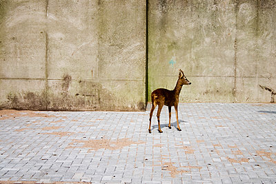 Lost roebuck next to wall - p1385m1424406 by Beatrice Jansen