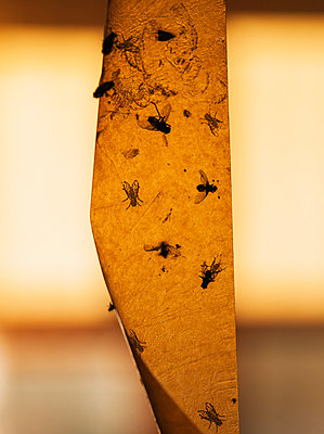 Flypaper With Dead Flies Hanging From Ceiling In Summer Cottage - p847m888647 by Bildhuset