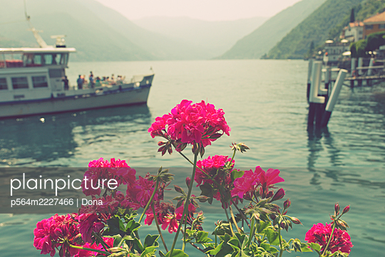 geranium flowers and touring boat in the background, Lake Como, Italy - p564m2227466 by Dona