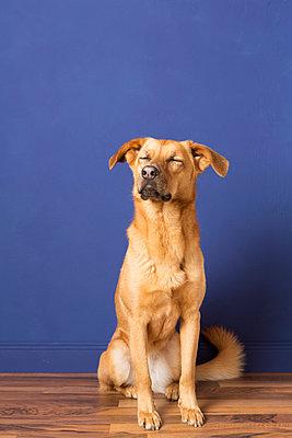 Mischlingshund vor blauer Wand I - p435m887508 von Stefanie Grewel