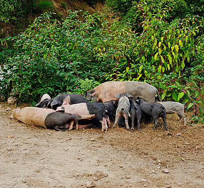 Wild pig suckling their mother - p6880030 by Damien Lachas