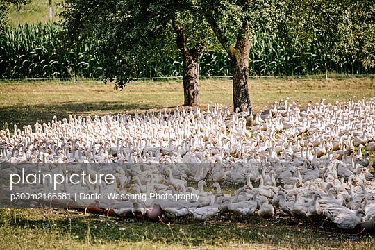 Martinigänse auf einem Feld. Österreich, Kärnten, Klagenfurt - p300m2166581 von Daniel Waschnig Photography