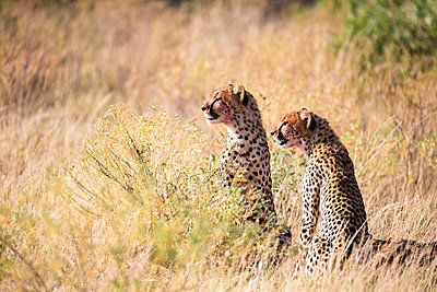 Cheetahs eating in the middle of the grass - p1166m2191982 by Cavan Images