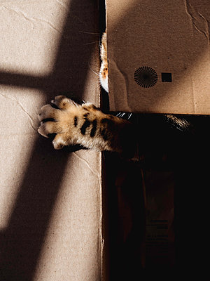 Cat inside a carton box - p1522m2142160 by Almag