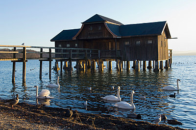 Swans and ducks floating on Ammersee by boathouse - p300m798118f by Claudia Rehm