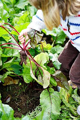 Girl planting beetroot - p312m1103710f by Lisa Bjorner