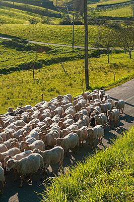 Schafherde im Baskenland - p470m1043011 von Ingrid Michel