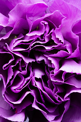 Purple carnation  - p919m2195676 by Beowulf Sheehan