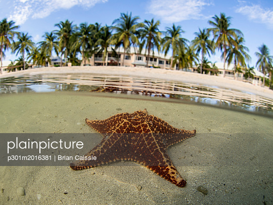 Starfish in shallow water on Starfish Beach, Grand Cayman, Cayman Islands - p301m2016381 by Brian Caissie