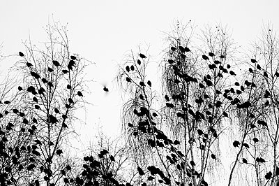 A group of starlings is resting in the tree tops - p1144m944078 by Misja Smits