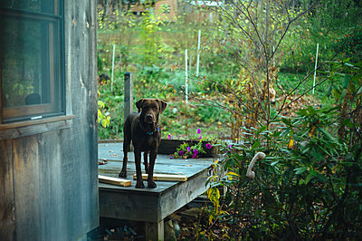 Chocolate Lab in a backyard - p1274m1105248 by caitlin strom