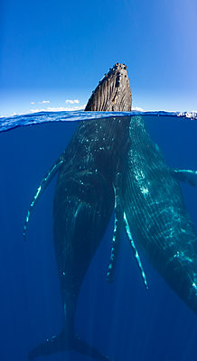 A split image of a pair of humpback whales (Megaptera novaeangliae) underwater and above; Maui, Hawaii, United States of America - p442m2032502 by Dave Fleetham