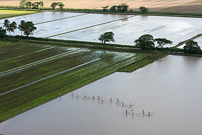 Rice fields, Guyana - p884m1356797 by Pete Oxford