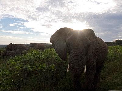 Elephants, South Africa - p978m1020530 by Petra Herbert