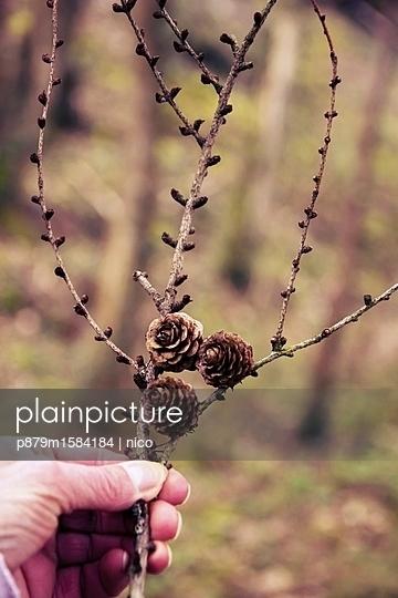 Zweig mit Tannenzapfen - p879m1584184 von nico
