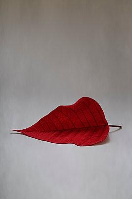 Single red leaf - p1228m1094397 by Benjamin Harte