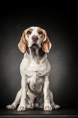 Beagle - p403m937625 by Helge Sauber