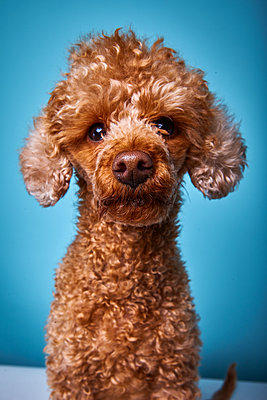 Poodle - p1010m2278722 by timokerber