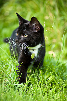 A black and white kitten walking through long grass, looking to one side. - p1433m2008062 by Wolf Kettler