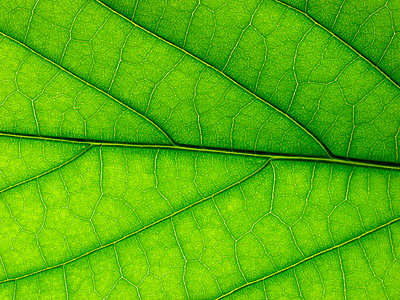 Grünes Blatt - p2550729d von T. Hoenig