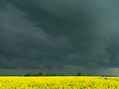 Oil seed rape field and storm clouds - p429m819795 by Mischa Keijser