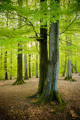 Beech wood that has just come into leaf - p5753498 by Staffan  Andersson