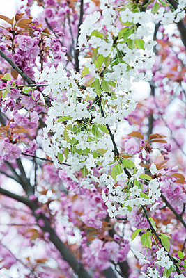 Cherry branches in full bloom - p624m1045682f by Odilon Dimier