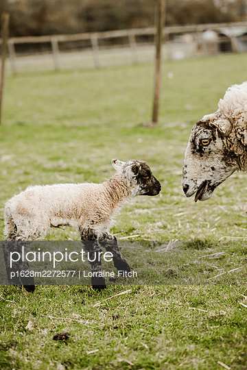Newborn lambs with their sheep mums - p1628m2272577 by Lorraine Fitch