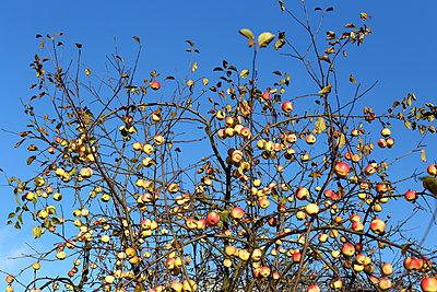 Apple tree - p1063m2045328 by Ekaterina Vasilyeva